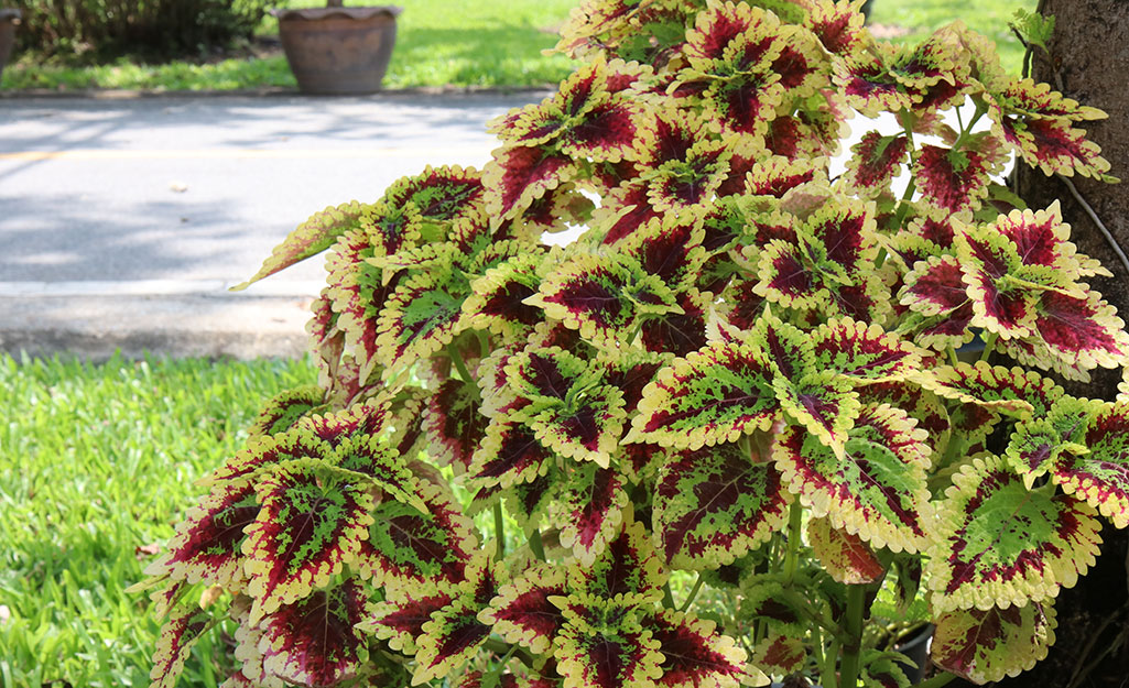 Burgundy and green coleus in a yard