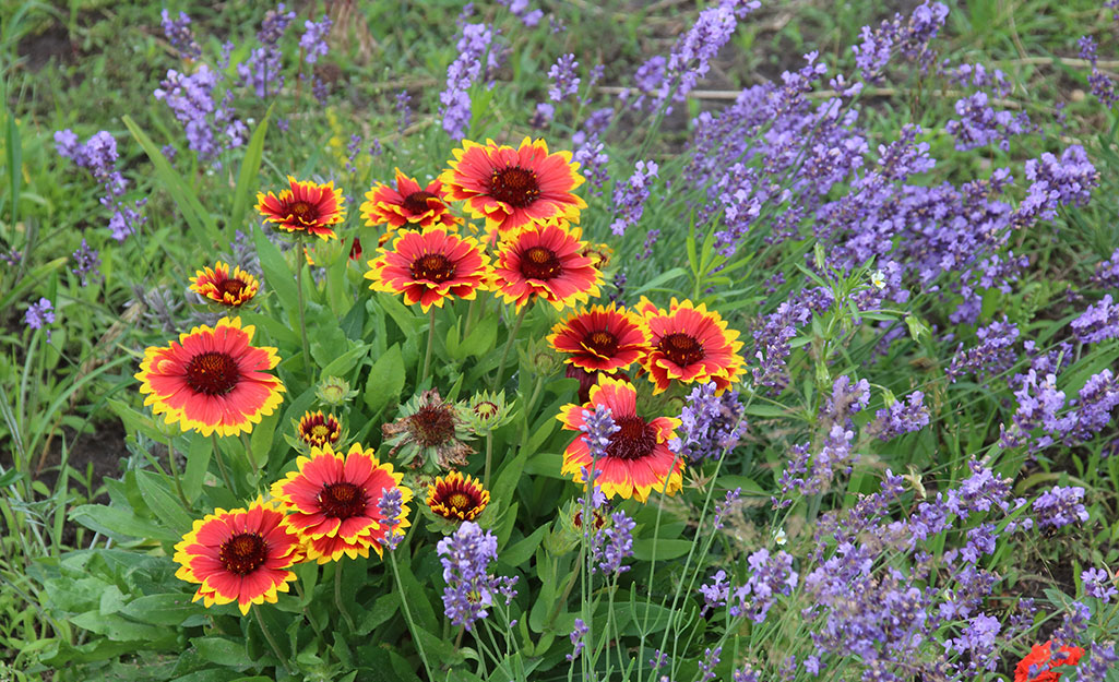 Gaillardia (blanket flower) in a summer garden