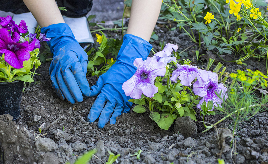A gardener planting petunias in a flower bed.