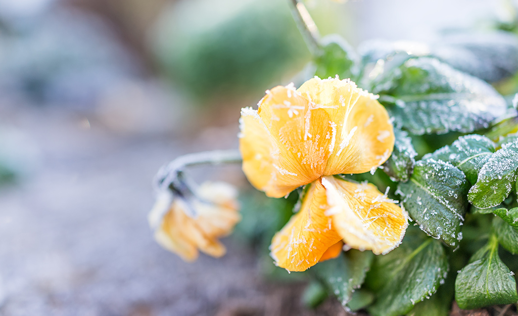 Hardy yellow pansies with frost.