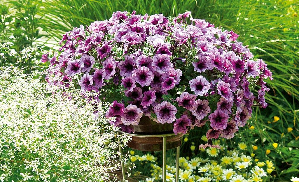 Purple petunias in a basket in a garden