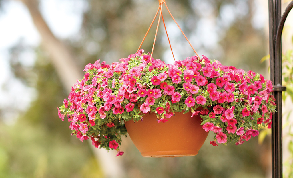 Pink calibrachoa flowers in a hanging basket.