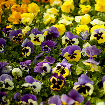 Purple and yellow pansies in the Garden Center.