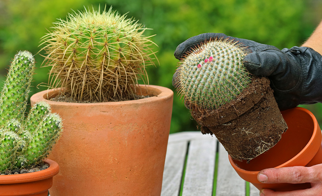 Someone wearing gardening gloves and repotting a cactus on a potting bench with two other potted cactus.