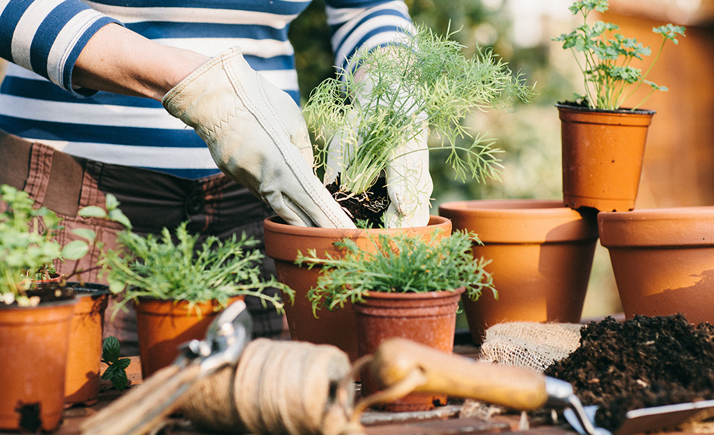 Gardener planting herbs in a terra cotta container