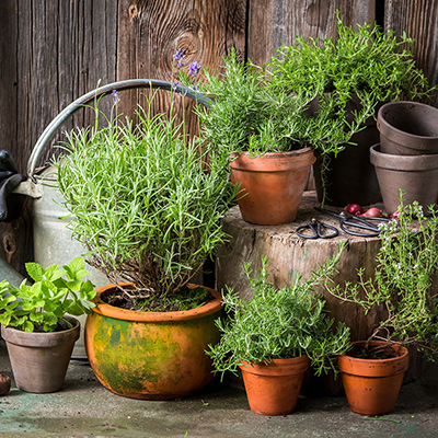 Herbs in terra cotta containers