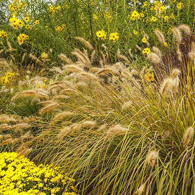 Ornamental grass in a landscape