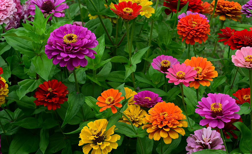 A bed of purple, orange, yellow and red zinnias.