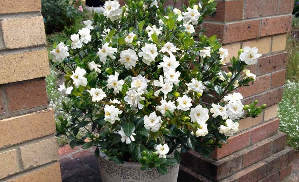 A container of gardenias beside a brick wall.