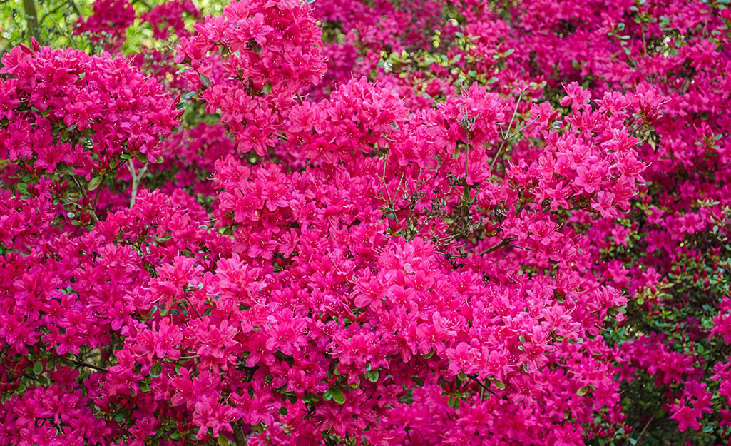 A bright pink azalea bush.