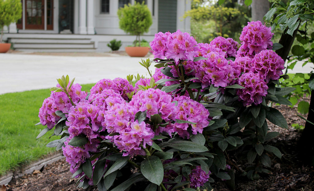A purple rhododendron in a green lawn in front of a white house.