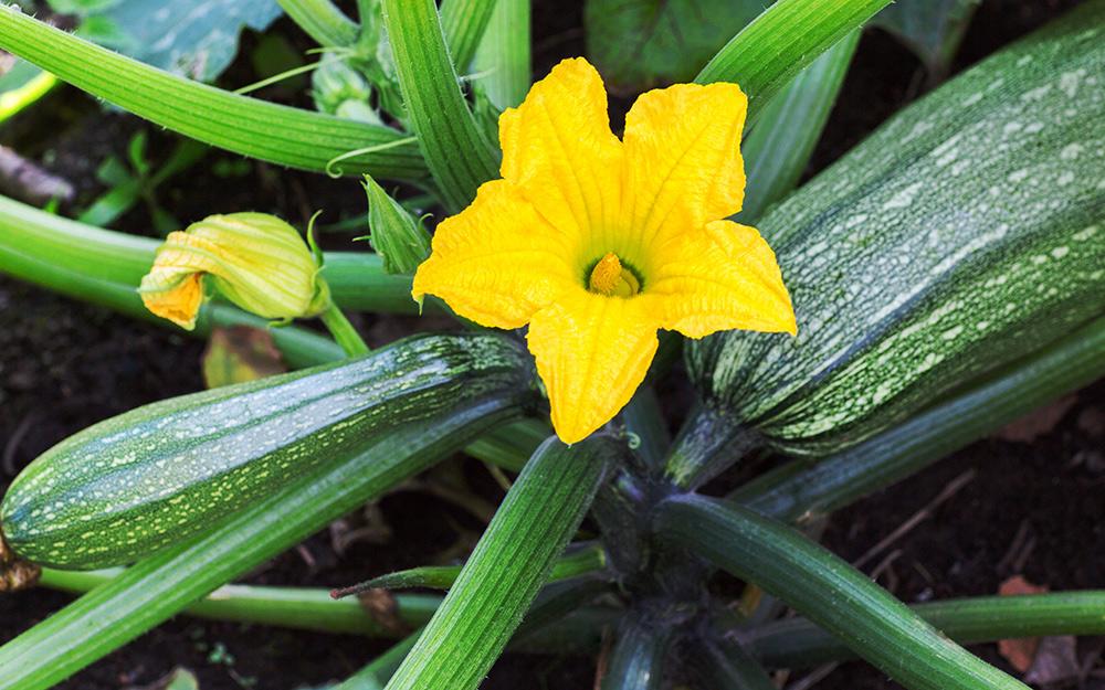 A yellow squash bloom.