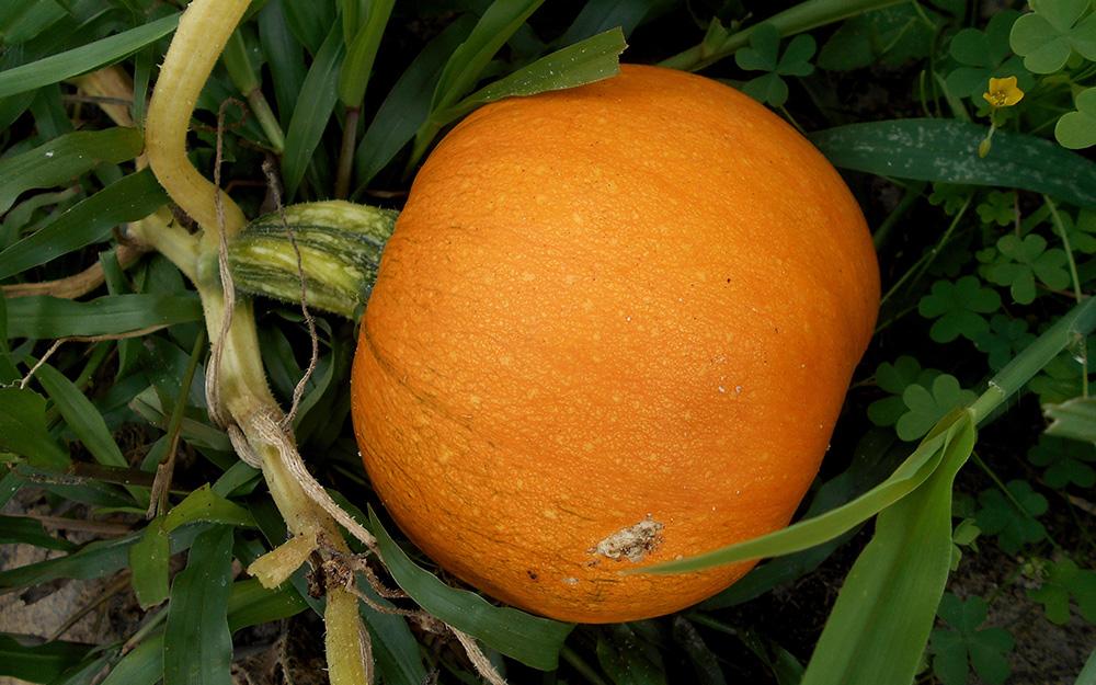 Sugar pumpkin growing in a garden.