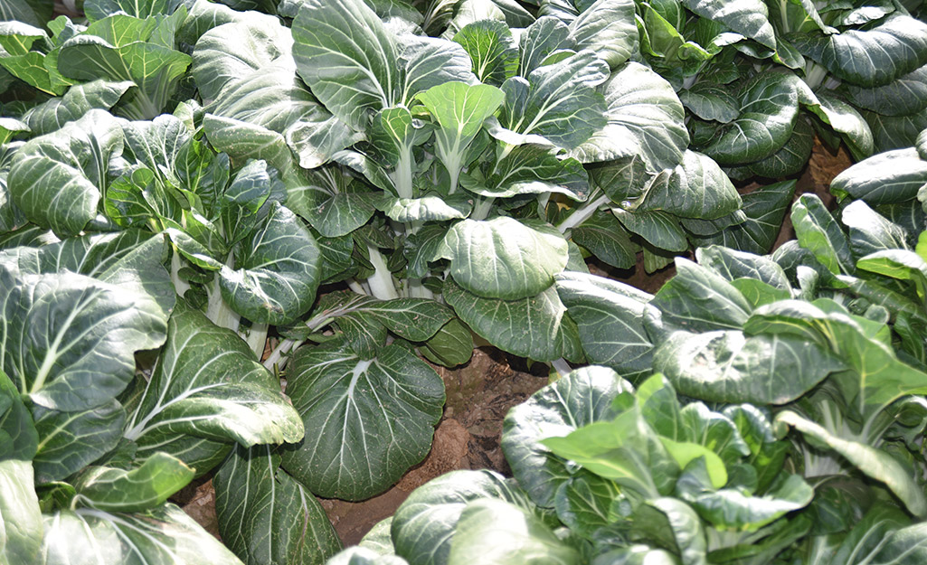 Bok choy plants in the vegetable garden