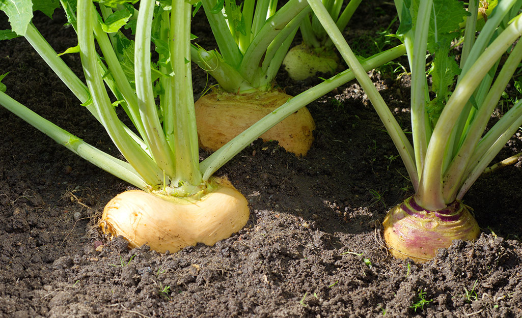 Turnip roots growing in the vegetable garden