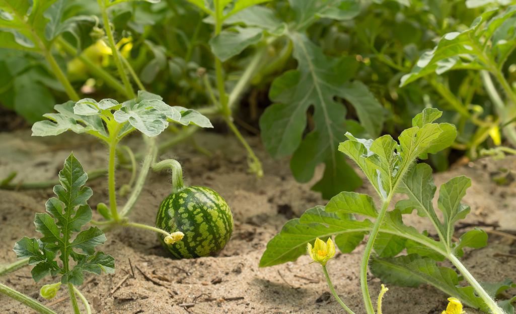 Watermelon and Cantaloupe