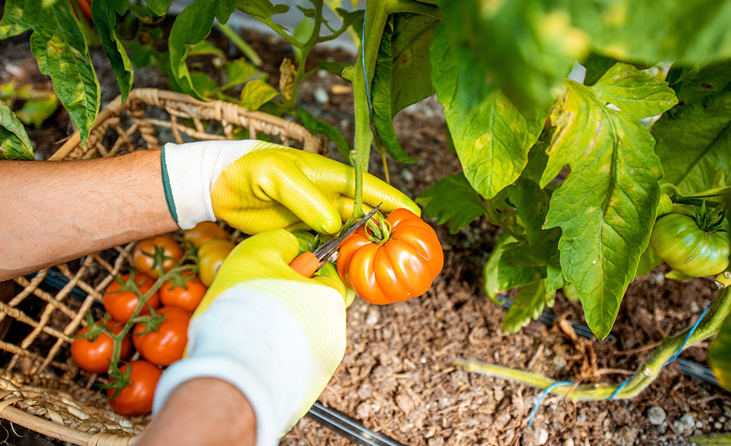 How to Harvest Vegetables