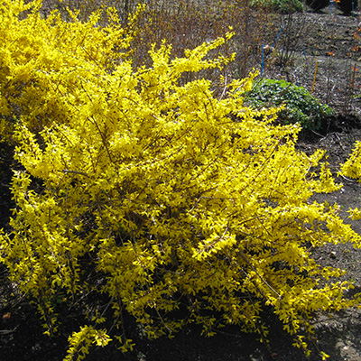 When the Forsythia Bloom, Prune Roses for More Blooms