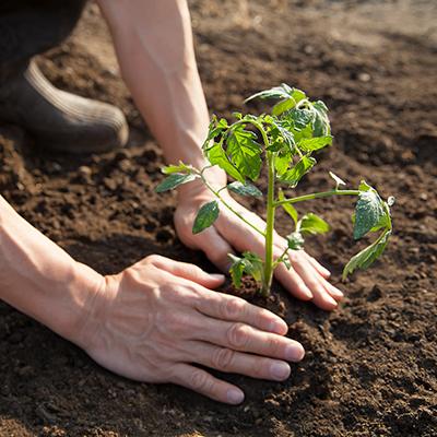 Gardener planting tomato seedling in soil