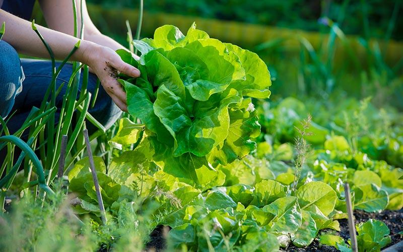 Gardener holds lettuce in a vegetable bed