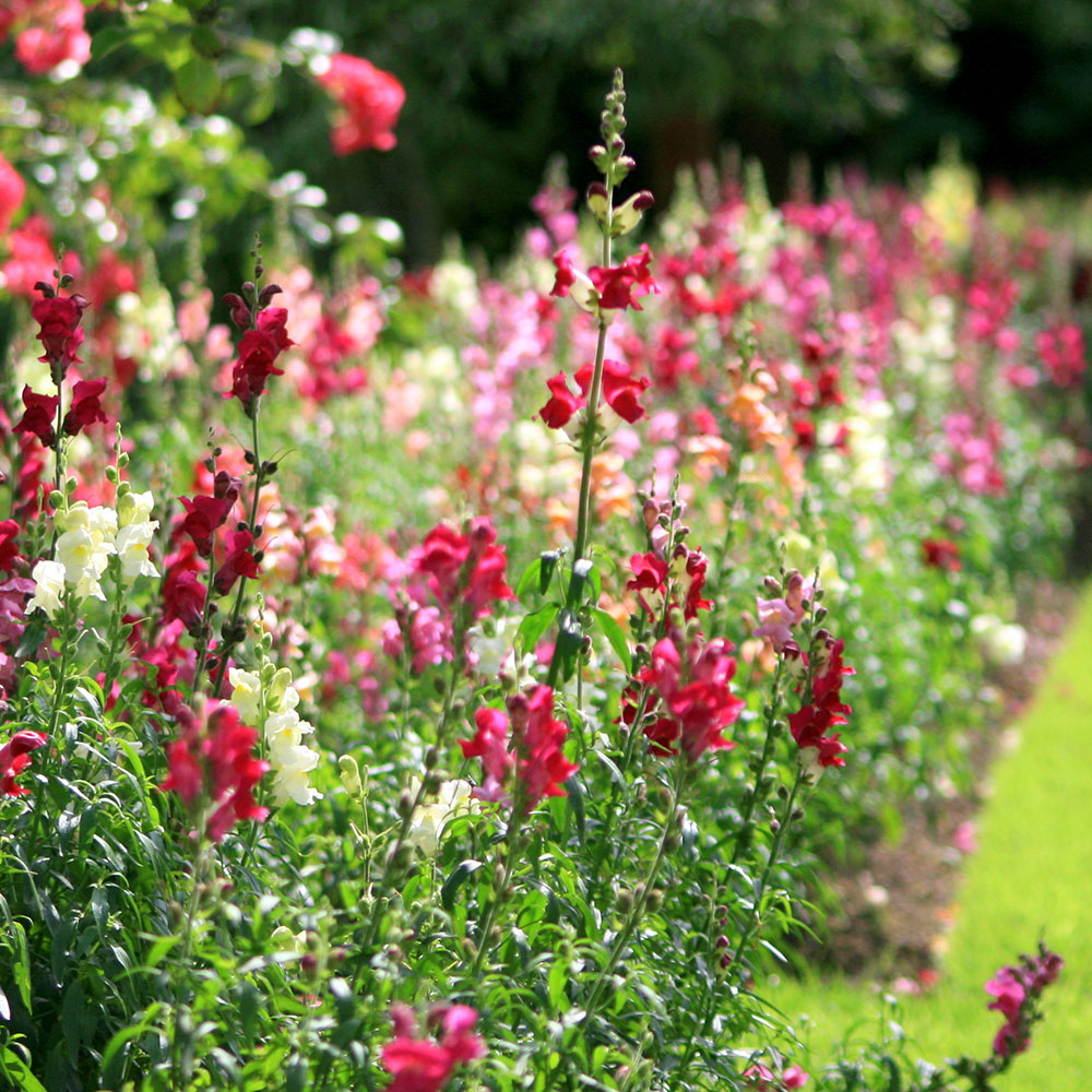 Snapdragons in a flower bed
