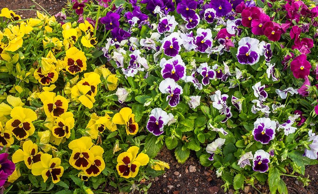 Flower bed full of colorful pansies