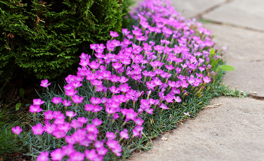 Bright pink flowers in a garden bed