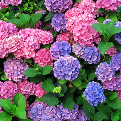 Beautiful Shop Perennials. Hydrangea
