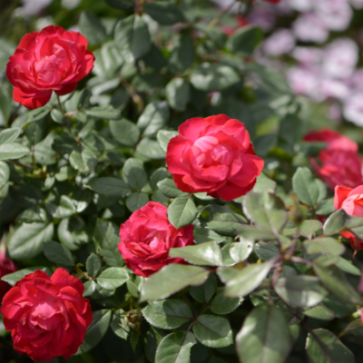 Rose Bush Plants For Sale