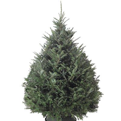 fraser live christmas trees - How Long Do Live Christmas Trees Last
