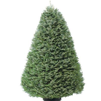 Grand Live Christmas Trees