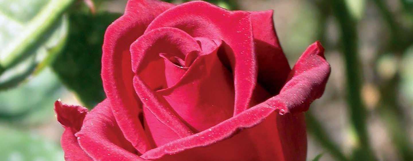 Types of Rose Bushes - The Home Depot