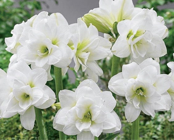 Amaryllis Flower Bulbs