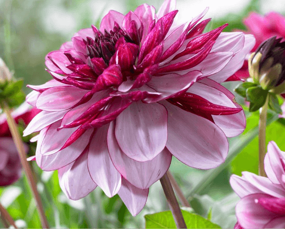 Dhalia Flower Bulbs