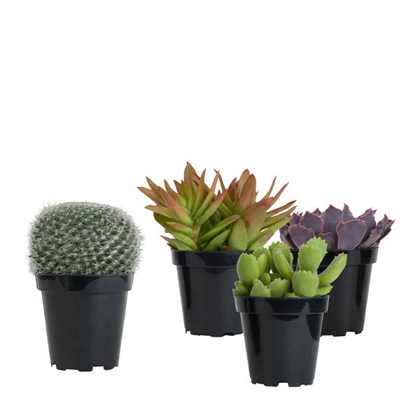 Succulents Under $20