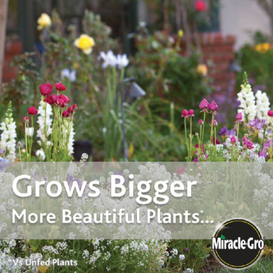 Grows Bigger More Beautiful Plants With Miracle-Gro