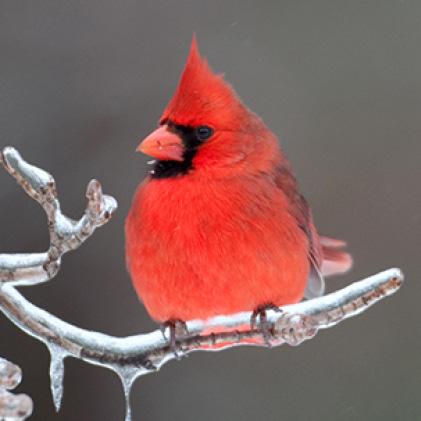 cardinals, squirrel resistant seed feeders