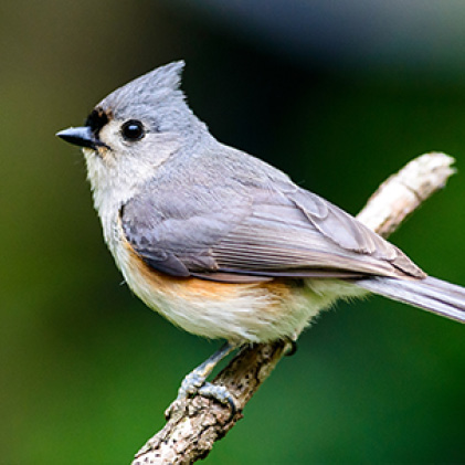 titmice, squirrel resistant seed feeders