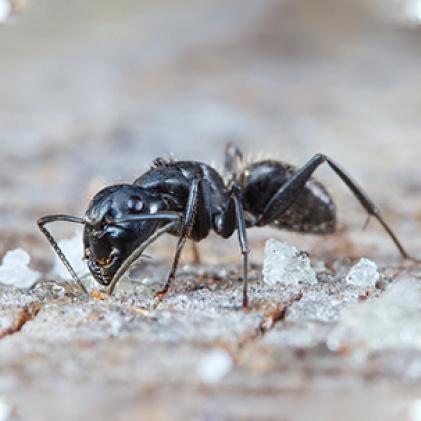 ants, outdoor ant killer