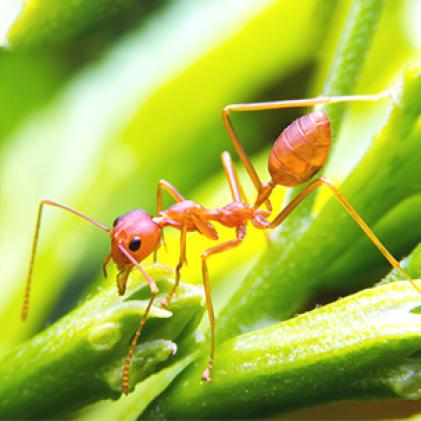 fire ants, outdoor ant killer