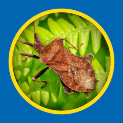 Sevin-5 Ready-To-Use 5% Dust kills squash bugs