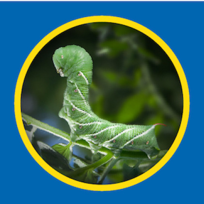 Sevin-5 Ready-To-Use 5% Dust kills tomato hornworms