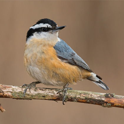 nuthatches, sure lock lid seed feeders