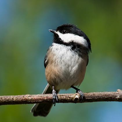 chickadees, sure lock lid seed feeders