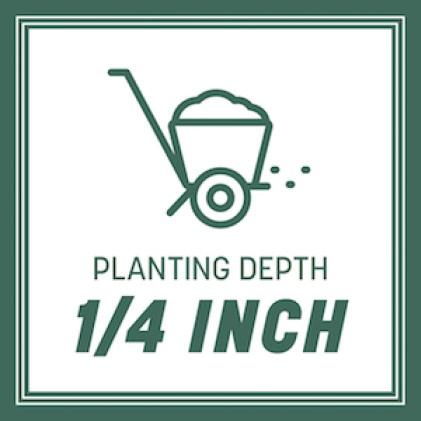 Planting depth 1/4 inch
