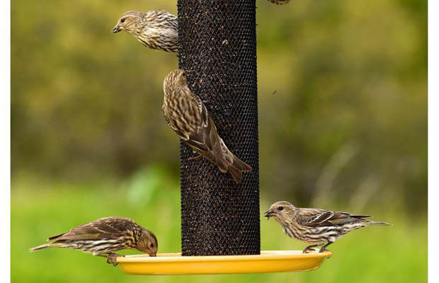 and store goldfinch seed finches garden asp at thistle songbird bird quality nyjer scripts finch poly small feeder for feeders prodlist songbirds