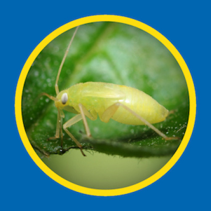 Sevin Insect Killer Concentrate kills aphids