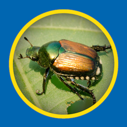 Sevin Insect Killer Concentrate kills japanese beetles