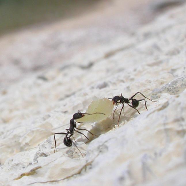 how liquid ant bait works