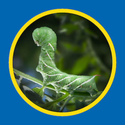 Sevin Insect Killer Concentrate kills hornworms